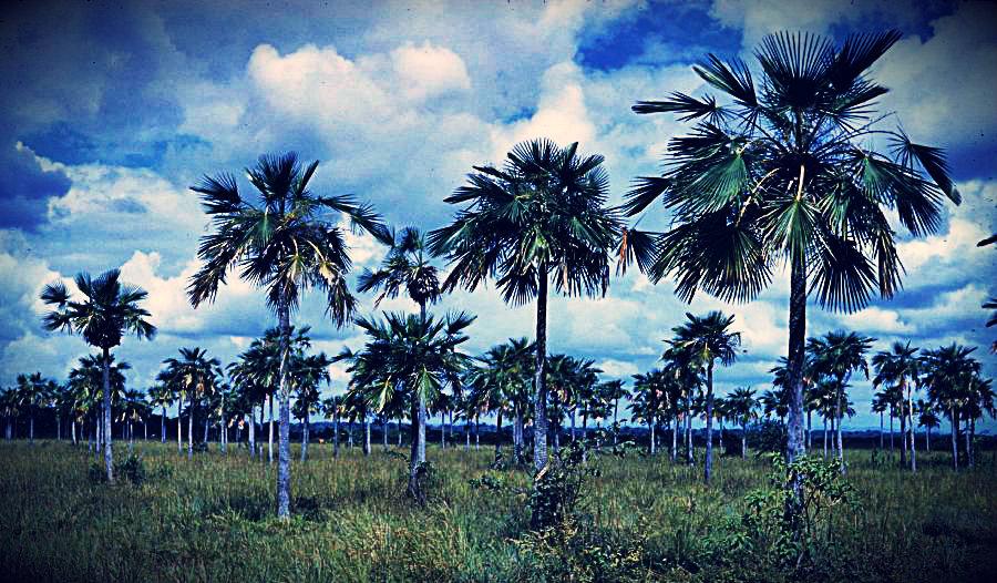La Palma Llanera (copernicia tectorum) - Planta Emblemática del Estado Guárico