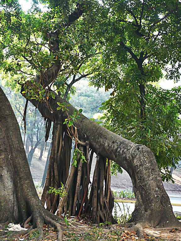Árbol de Caucho - Símbolo Natural del Estado Amazonas