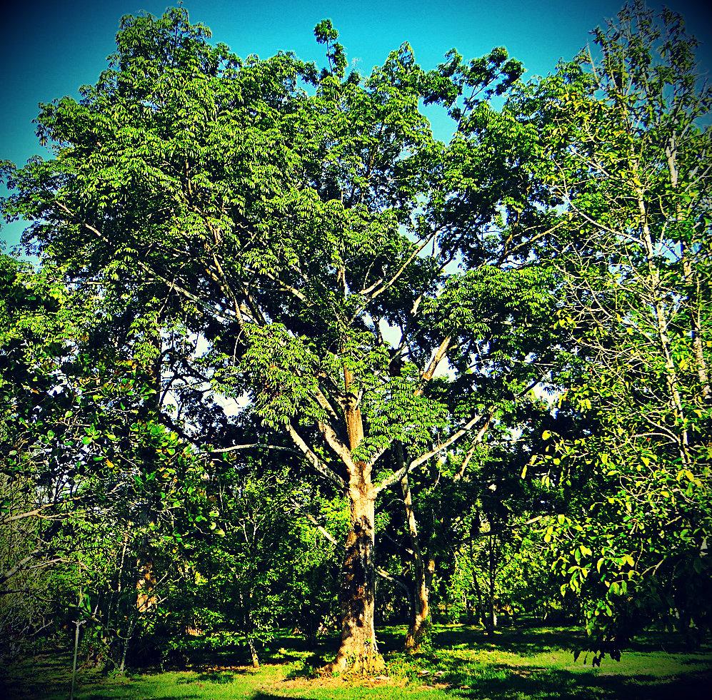 Árbol de Ceiba - Emblemático del Distrito Capital