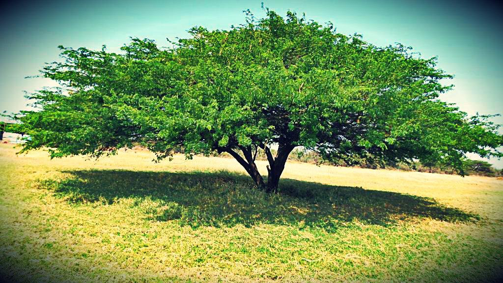 El mezquite o Cují Yaque - Planta Emblemática del Estado Falcón