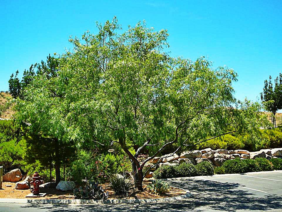 El Mezquite - Planta Emblemática del Estado Cojedes