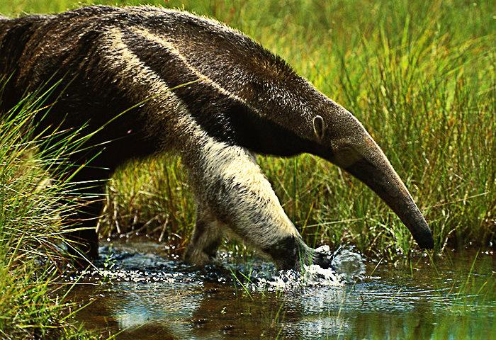 Oso Hormiguero - Animal Emblemático del Estado Aragua
