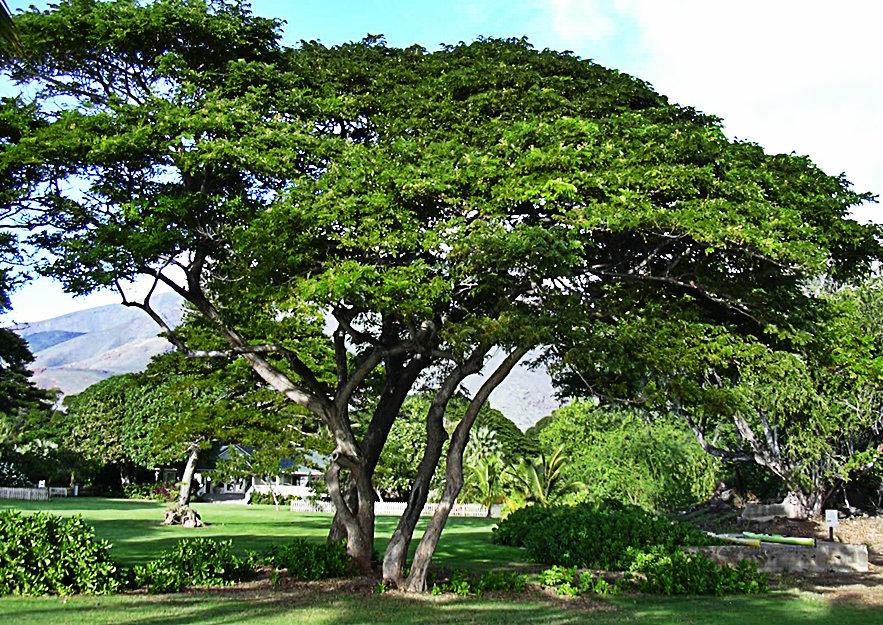 El Saman - Árbol Típico del Estado Aragua