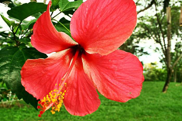 La Cayena o (Hibiscus syriacus L Malvaceae)